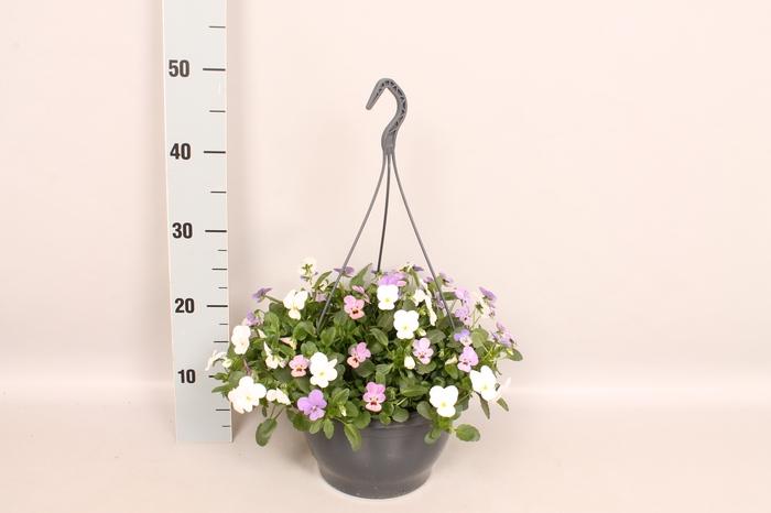 <h4>Hangpot 23 cm Viola cornuta blue, white, pink</h4>