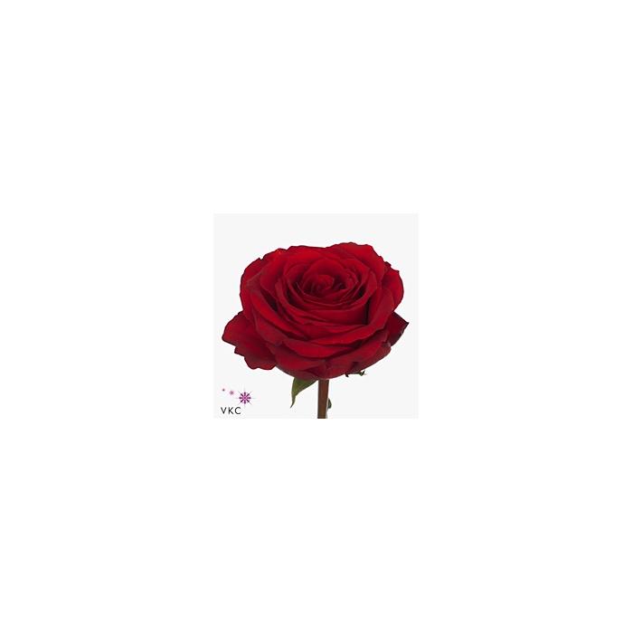 <h4>Rosa Gr. Hot Blood</h4>