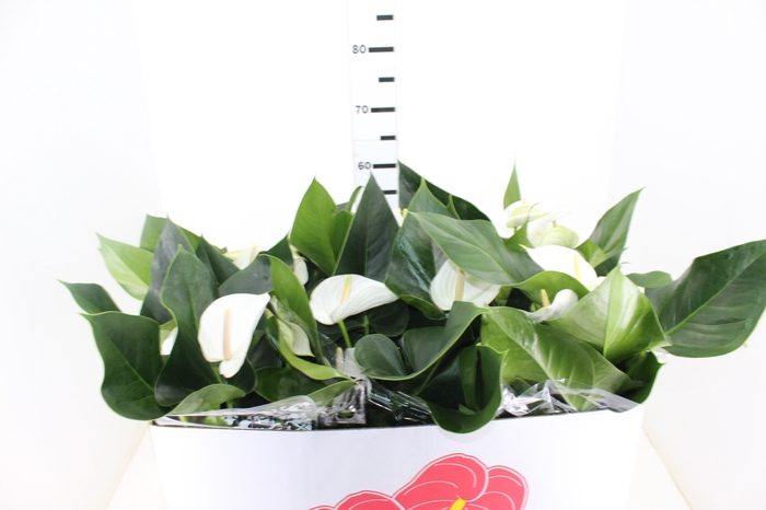 <h4>ANTHURIUM WHITE WINNER P19 BRANCO</h4>