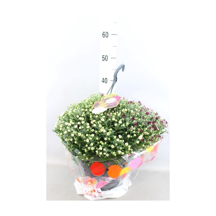 <h4>Chrysanthemum  'Skyfall'  ..mix</h4>