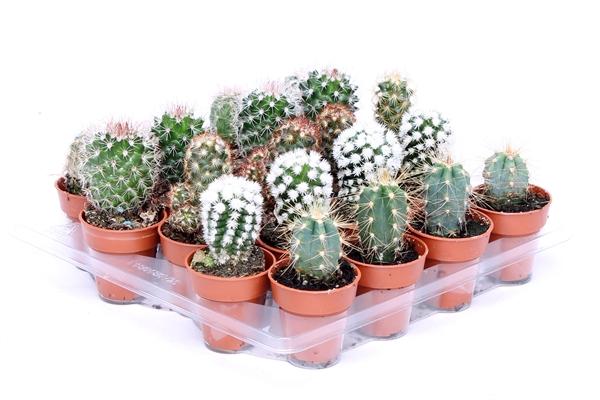 <h4>Cactus   ...mix</h4>