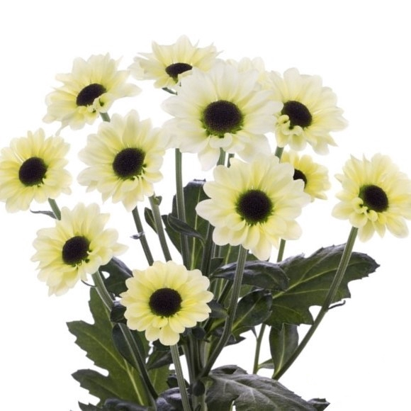 <h4>Chrysanthemum spray san Yin Yang Naranja</h4>