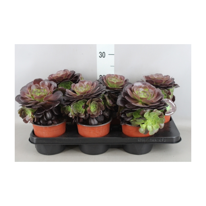 <h4>Aeonium arboreum 'Velours'</h4>