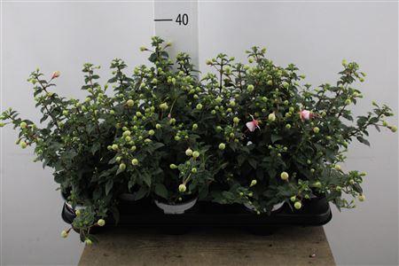 <h4>Fuchsia Elma White/red</h4>