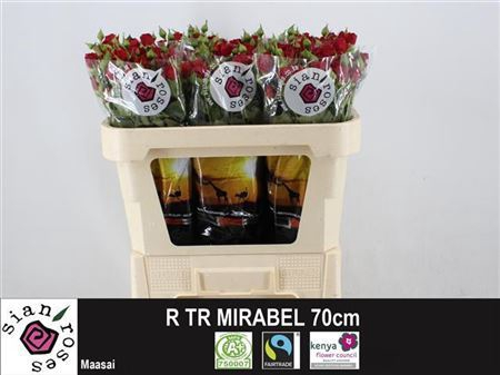 <h4>R TR MIRABEL</h4>