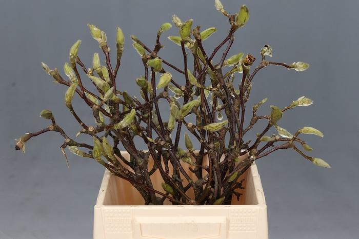 <h4>Magnolia Sinensis White</h4>