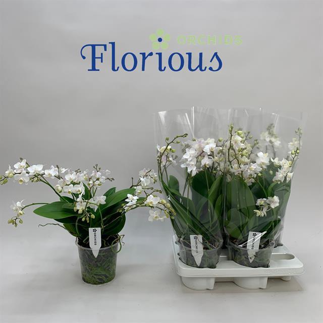 <h4>Phalaenopsis White 15Ø 45cm</h4>