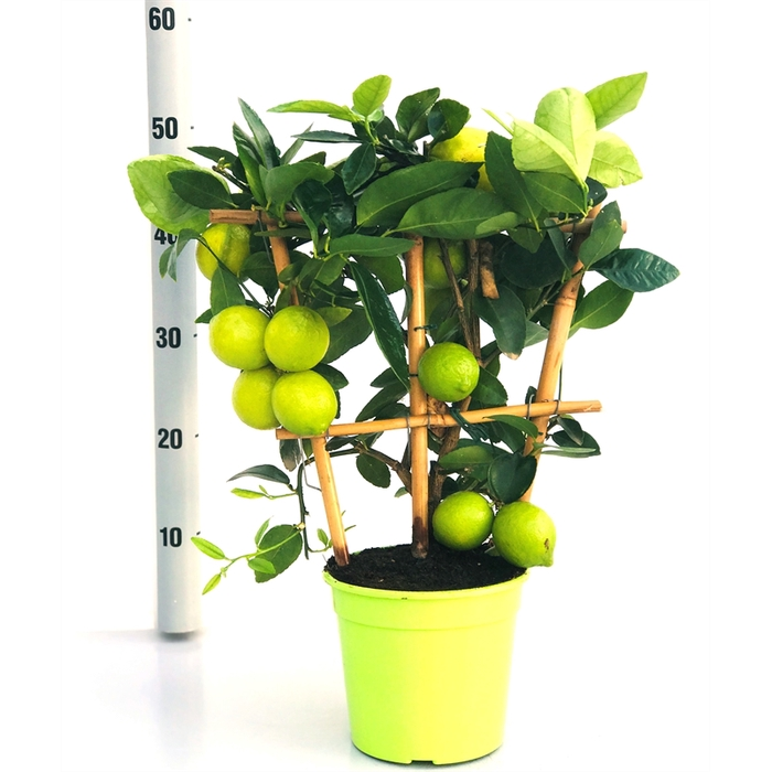 <h4>Lime op rek</h4>