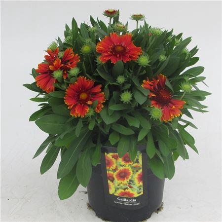 <h4>Gaillardia Oranje</h4>