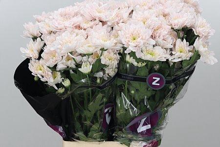 <h4>Chr T Pastela Rose</h4>