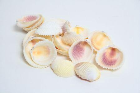 <h4>Basic Shell Cardium Flavus 500gr</h4>