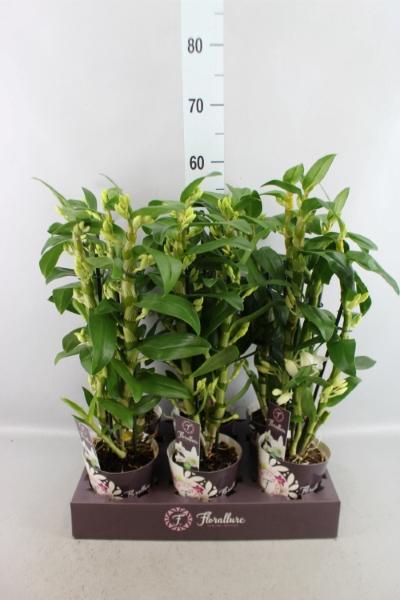 <h4>Dendrobium  'Star Class Apollon'</h4>