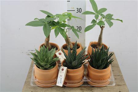 <h4>Arr Green Pl. In Terracotta</h4>