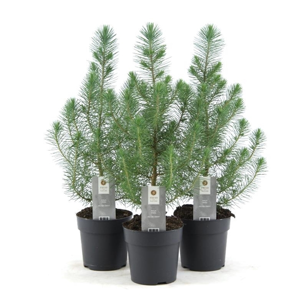 <h4>Pinus pinea Silver Crest</h4>