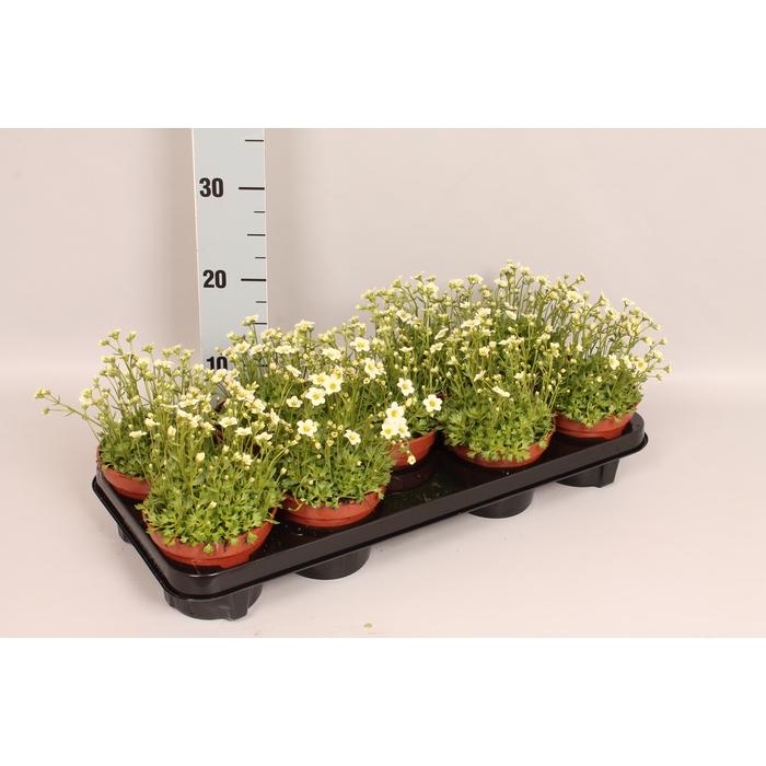 <h4>vaste planten 12 cm Saxifraga Wit</h4>