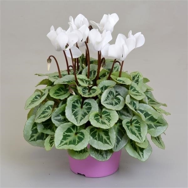 <h4>Cyclamen SS Picasso Wit</h4>