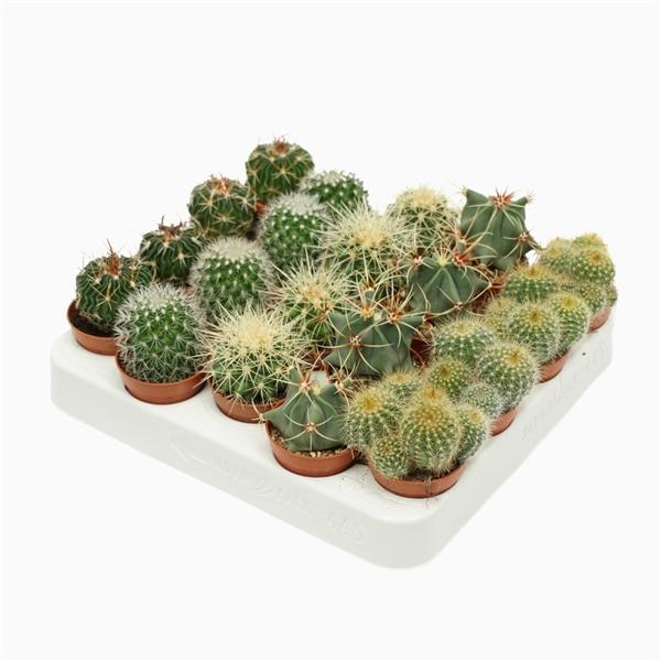 <h4>Bolcactus mix 5,5 cm.</h4>