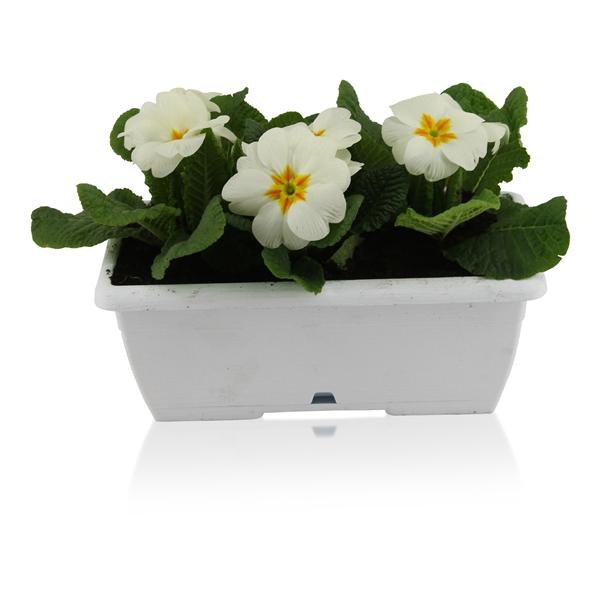 <h4>Primula Acaulis in Wit Duobakje</h4>