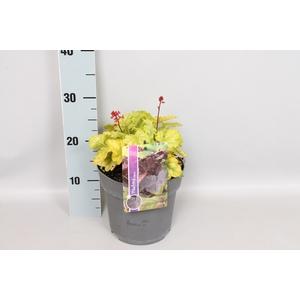 vaste planten 19 cm  Heuchera Tokyo