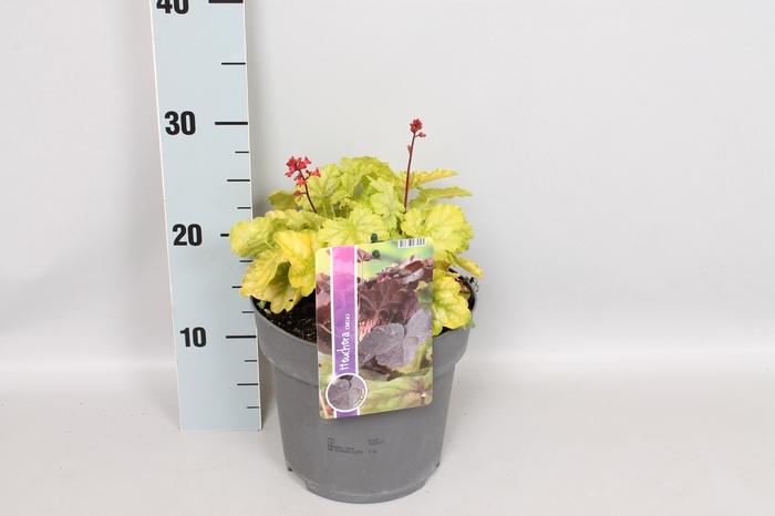 <h4>vaste planten 19 cm  Heuchera Tokyo</h4>