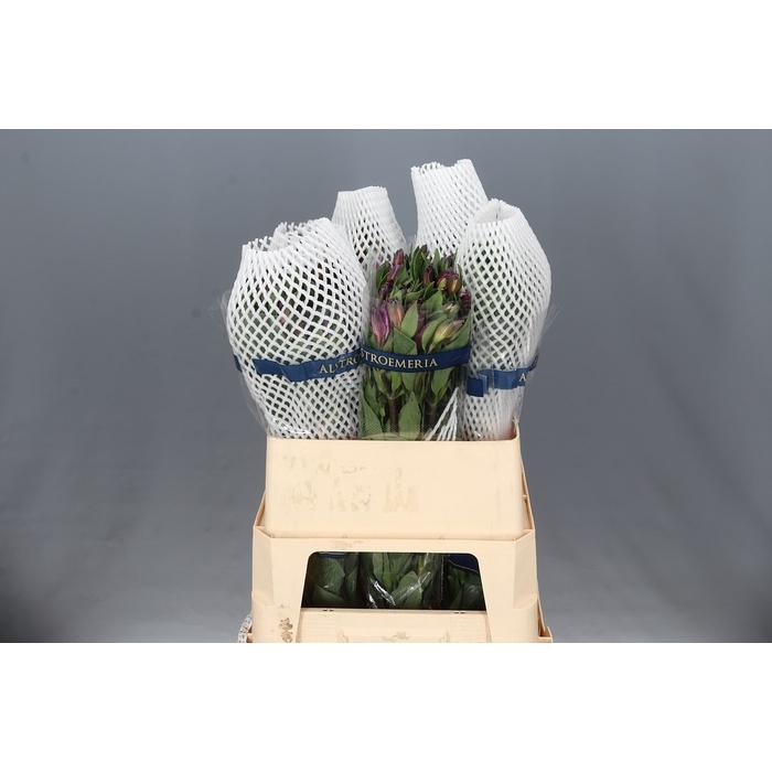<h4>Alstroemeria Cote d'Azur</h4>