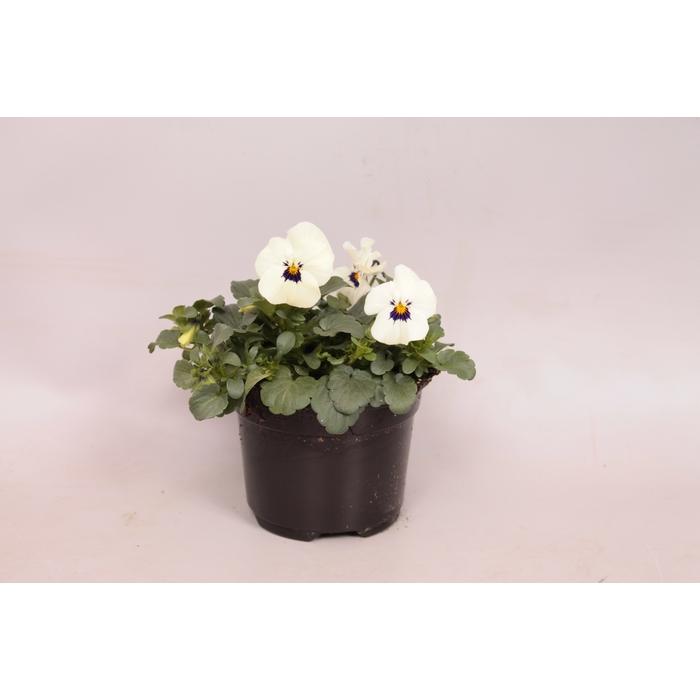 <h4>Viola cornuta F1 White with Blotch</h4>