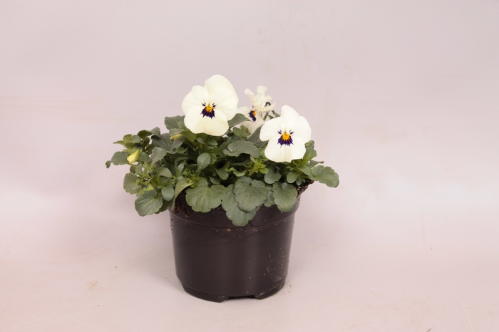 Viola cornuta F1 White with Blotch