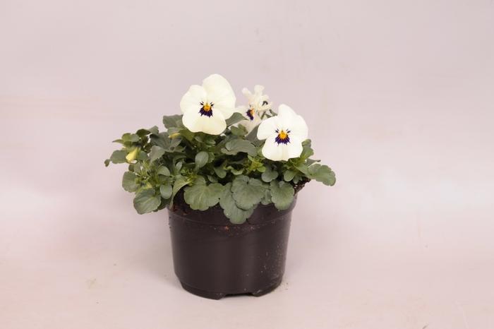 Viola cornuta F1 White with Blotch