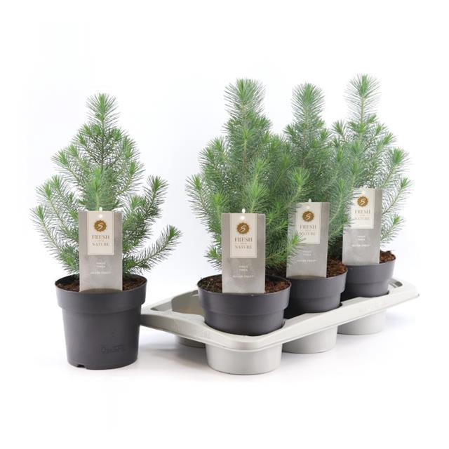 <h4>Pinus Silver Crest</h4>