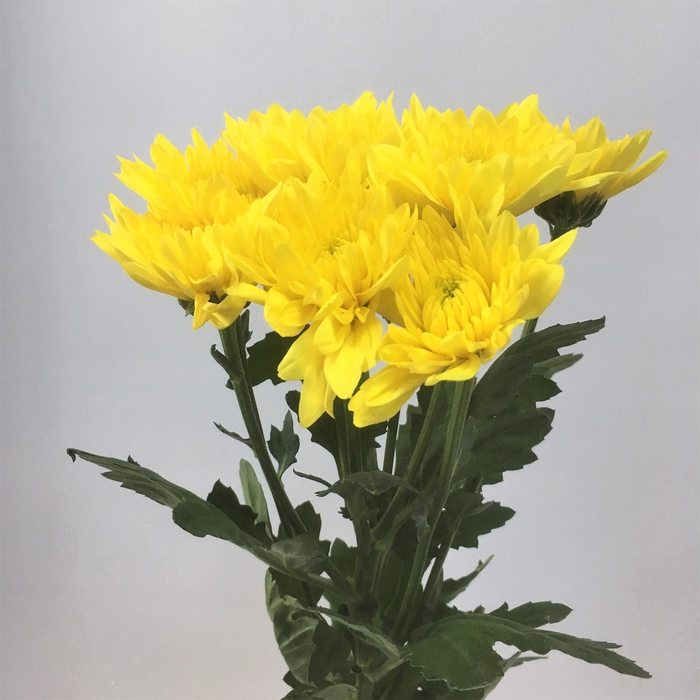 <h4>Champange Yellow</h4>