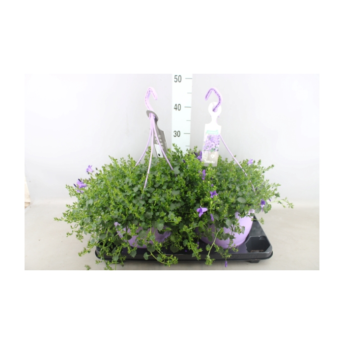 <h4>Campanula porten. 'Ambella Purple'</h4>