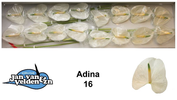 <h4>Adina 16</h4>