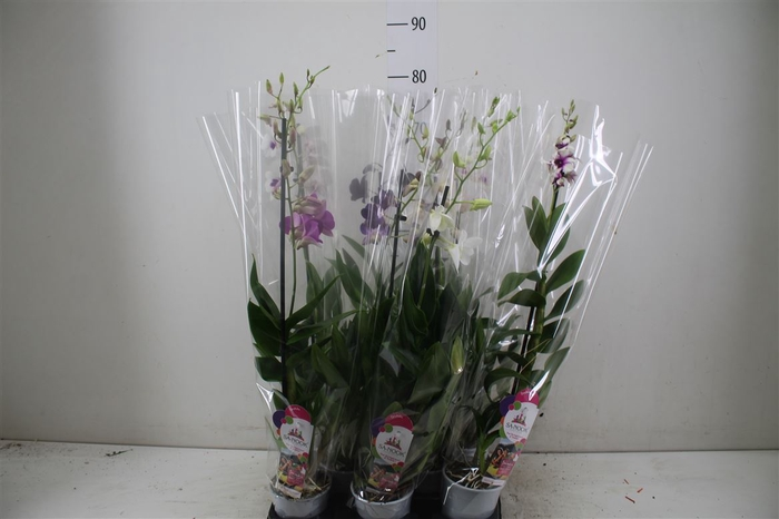 <h4>Dendrobium Gemengd 1 Tak</h4>