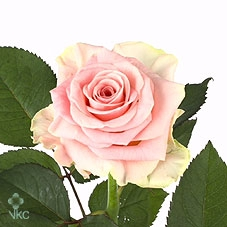 Rosa Gr. Primaballerina
