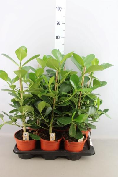<h4>Clusia rosea 'Green Magic'</h4>