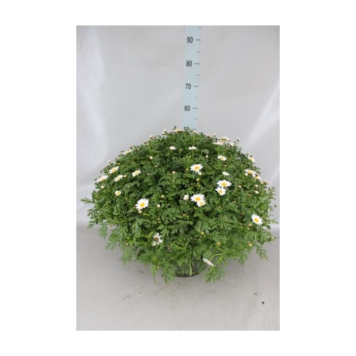 <h4>Argyranthemum  'Hanka-Bofinger'</h4>