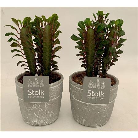 <h4>Euphorbia Trigona Rubra In Stone Look Pot</h4>