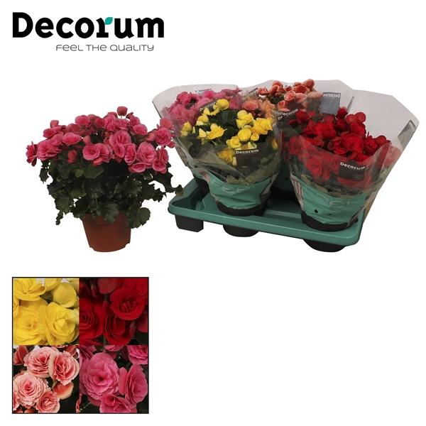 <h4>Begonia gemengd in tray(3 kleuren)</h4>