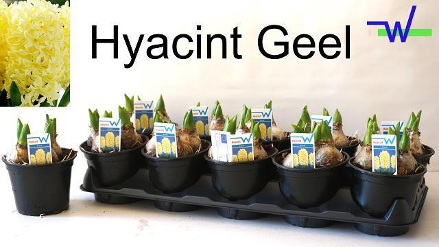 <h4>HYACIN OV</h4>