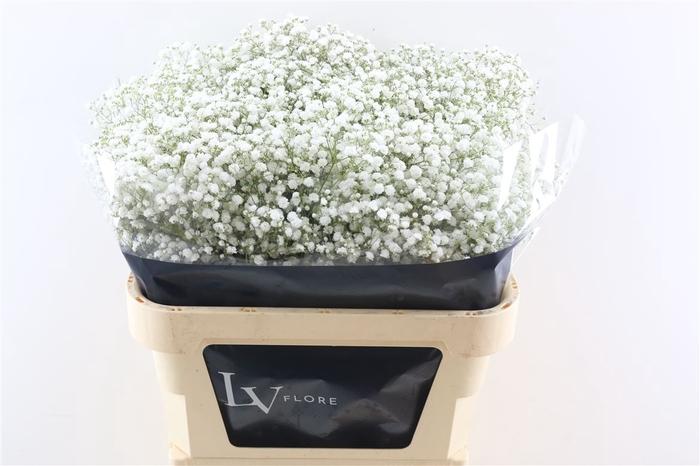 <h4>Gyps Pa Excellence White 80cm 750 gr EC</h4>