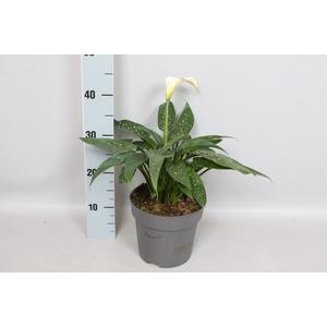 vaste planten 19 cm Zantedeschia aethiopica