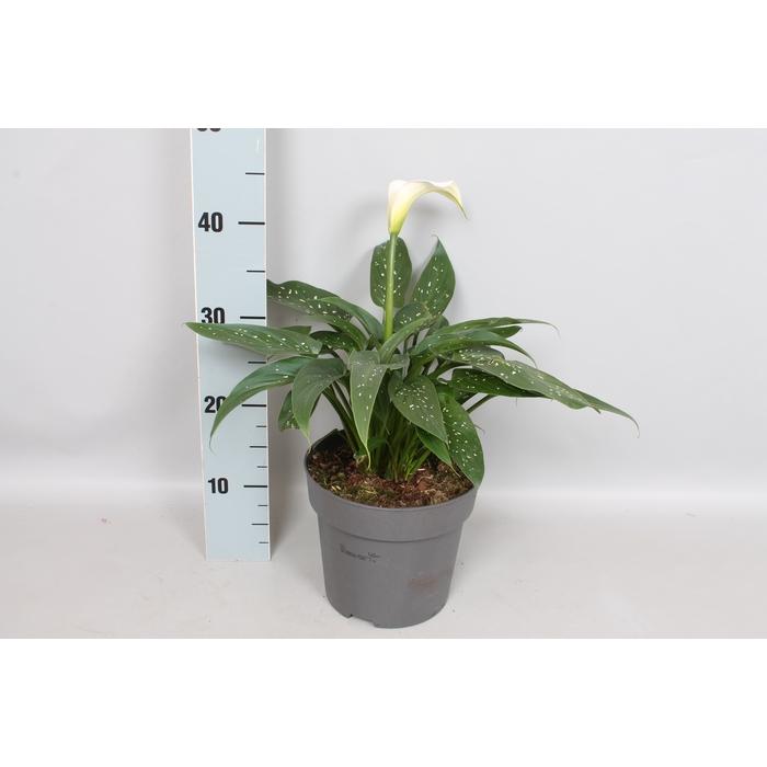 <h4>vaste planten 19 cm Zantedeschia aethiopica</h4>