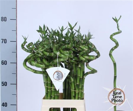 <h4>Drac S Lucky Bamboo</h4>