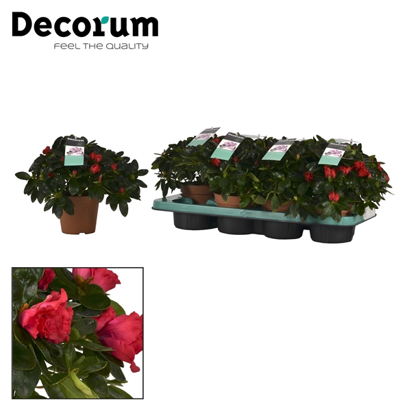 <h4>Azalea 12 cm Jimmy Decorum</h4>
