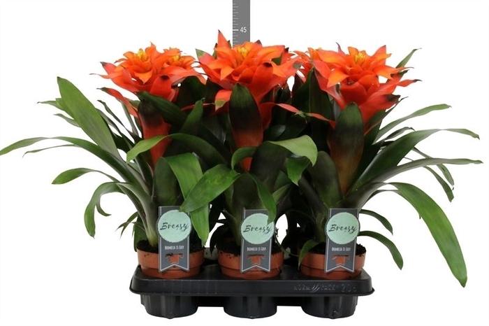 <h4>Guzmania  'Fiero Orange'</h4>