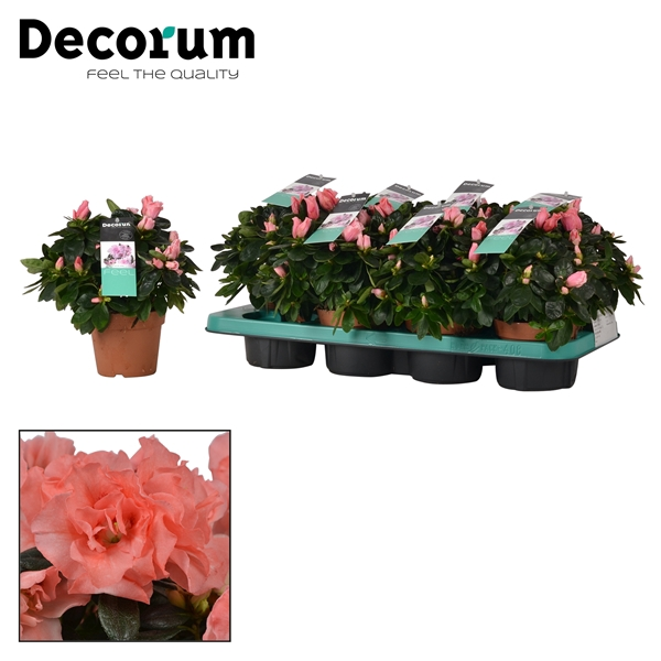 <h4>Azalea 12 cm Luntera Decorum</h4>