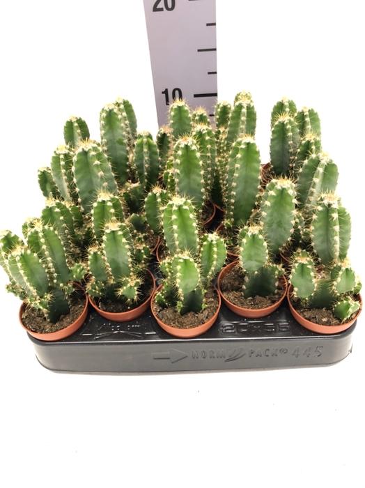 <h4>Cereus peruvianus Florida 5,5Ø 7cm</h4>