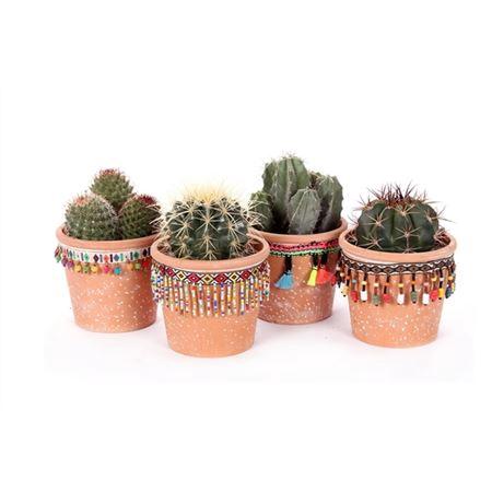 <h4>Cactus San Jose De Mayo 10,5 Cm</h4>