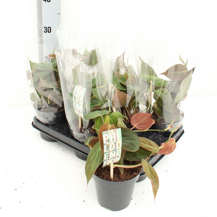 <h4>Philodendron Scandens Micans</h4>