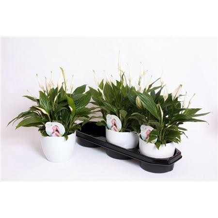 <h4>Kp-613.1 - Spathiphyllum In Witte Bolpot</h4>